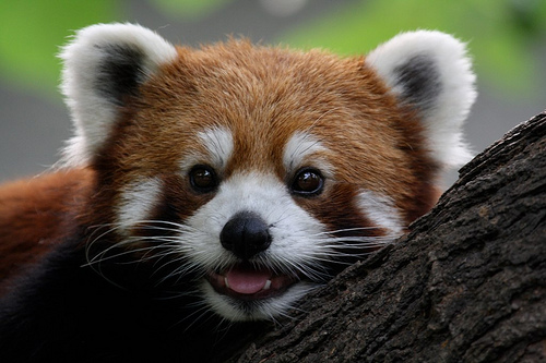 Red Panda - Credit: Sung Ming Whang
